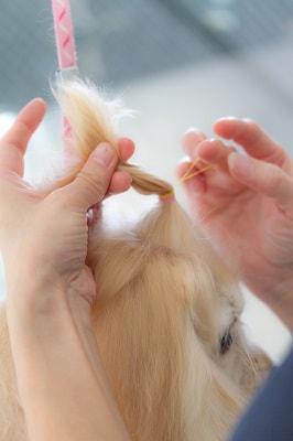 頭の毛を結わいている最中のアメリカンコッカー
