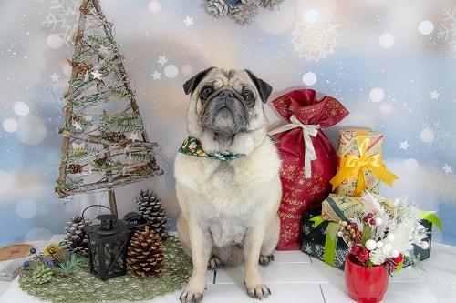 クリスマスのステージでカメラ目線のパグ
