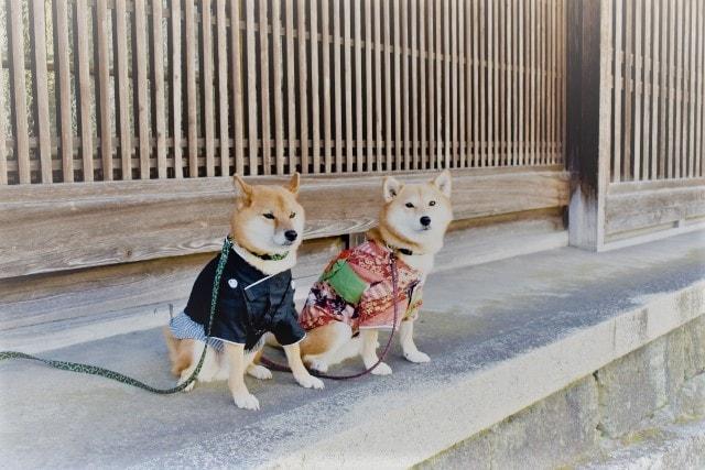 着物を着た2頭の柴犬