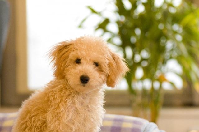 ソファに座ってこちらを見つめるモコモコのとりプードルの子犬