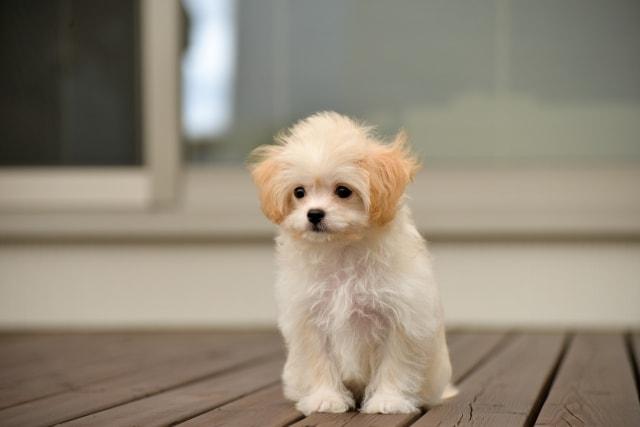 テラスに出てどうしていいか分からない不安げな子犬