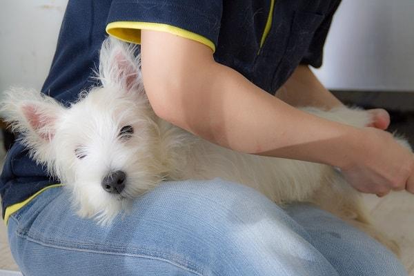 膝の上でリラックスして寝ながら爪切りされているウエスティーの子犬