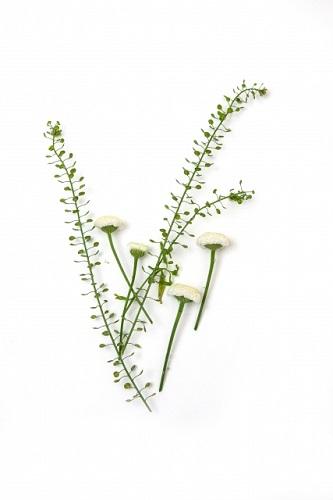 春の七草「なずな」