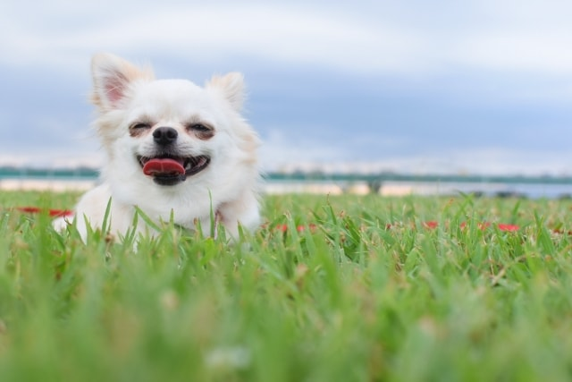 芝生の上で笑顔でくつろいでいる白いチワワ